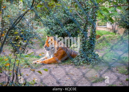 A Siberian tiger lying down - Stock Photo