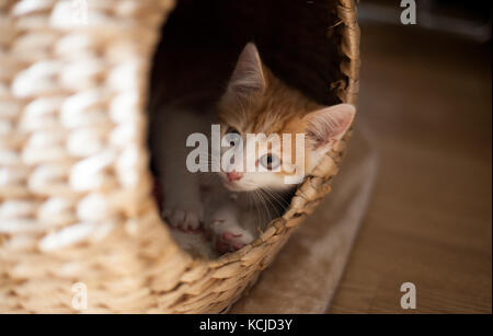 little ginger kitten playing in a wicker pod - Stock Photo