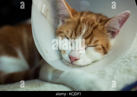 photo of a young ginger tomcat in a plastic Buster collar - Stock Photo