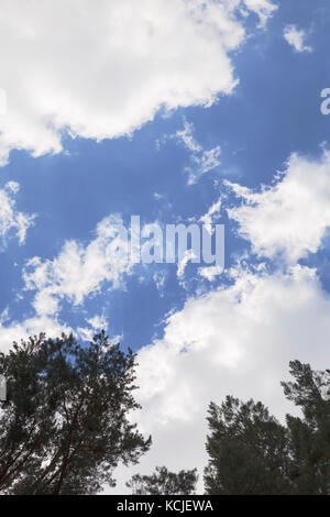 white clouds in a blue sky over the green pine treetops - Stock Photo