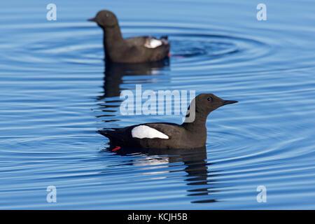 Two black guillemots / tysties (Cepphus grylle) in breeding plumage swimming in sea - Stock Photo