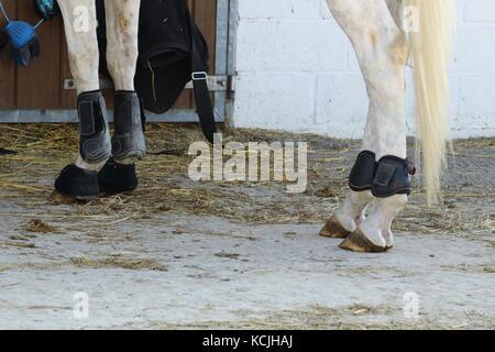 leather protections for legs and balls of anterior and posterior horses put in place angle of view on the side - Stock Photo
