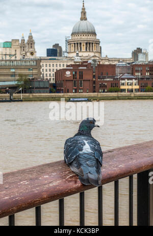 Close view of a feral pigeon (Columba livia domestica) on a handrail overlooking River Thames, with St Paul's Cathedral - Stock Photo