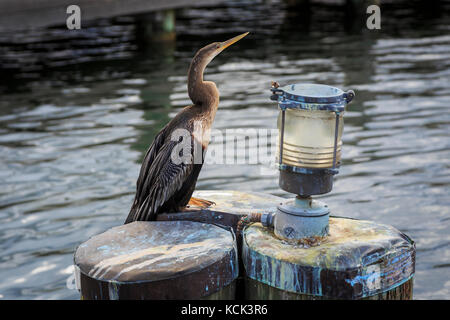 American Anhinga sunning  at the side of a lake, Orlando, Florida, USA. Bird is known by various names because of - Stock Photo