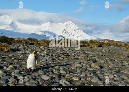 King Penguin (Aptenodytes patagonicus) perched on a rocky beach on South Georgia Island. - Stock Photo