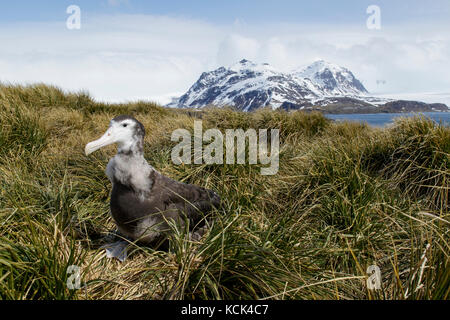 Wandering Albatross (Diomedea exulans) perched on tussock grass on South Georgia Island. - Stock Photo
