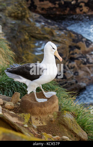 Black-browed Albatross (Thalassarche melanophris) at a nesting colony in the Falkland Islands. - Stock Photo