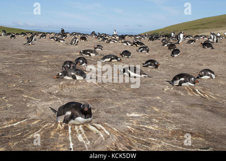 Gentoo Penguin (Pygoscelis papua) at its nesting colony in the Falkland Islands - Stock Photo