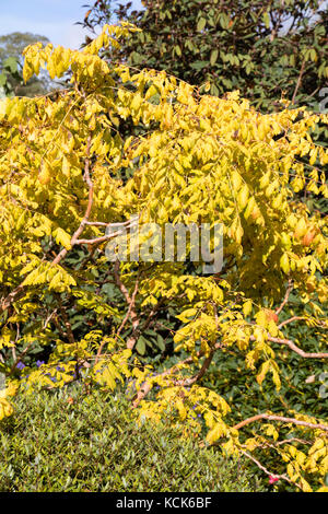 Yellow autumn foliage colour of the selected form of the Golden rain tree, Koelreuteria paniculata 'Coral Sun' - Stock Photo