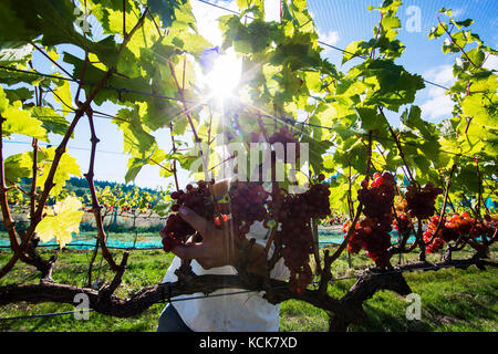 Hand picked Ortega grapes are harvested off the vine at Beaufort Vineyard and Winery Estate in Courtenay.   The - Stock Photo