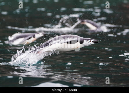 A Chinstrap Penguin (Pygoscelis antarctica) explodes out of the water while swimming in waters near Brown Bluff, - Stock Photo