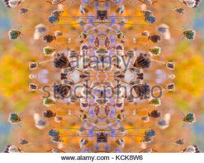 Kaleidoscope pattern of fruit clusters of Queen Anne's Lace Wild Carrot Daucus carota mirror symmetry symmetric - Stock Photo