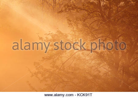 Light beam through radiation fog and misty trees in early morning in Whitby Ontario Canada - Stock Photo
