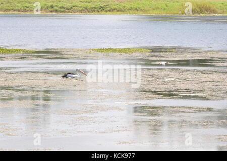 Australian Pelican (Pelecanus conspicillatus) swimming down the Ross River, Townsville, QLD, Australia - Stock Photo