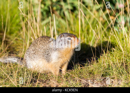 Columbian Ground Squirrel (Urocitellus columbianus), Waterton Lakes National Park, Alberta, Canada - Stock Photo