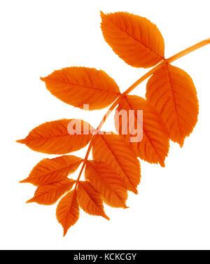 Autumn rowan leaf isolated on white background - Stock Photo