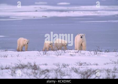 Polar bear mother with three cubs (unusual), Ursus maritimus, walk along shoreline near Churchill, Manitoba, Canada - Stock Photo