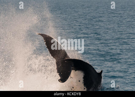 Humpback whales displaying there skills to the whale watchers at Hervey Bay, Queensland, Australia. - Stock Photo