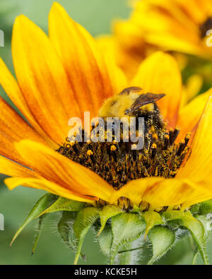 Bumble Bee, Bombus sp.,  on sunflower, Warman, Saskatchewan, Canada - Stock Photo