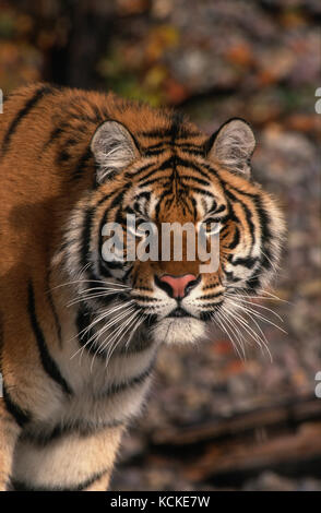 Portrait of a young Siberian tiger, Panthera tigris altaica - Stock Photo