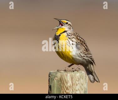 A Western Meadowlark, Sturnella neglecta, sings from a post in Saskatoon, Saskatchewan, Canada - Stock Photo