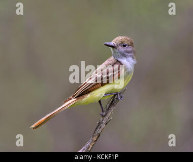 A Great Crested Flycatcher,Myiarchus crinitus , perched in a woodland in Saskatchewan, Canada. - Stock Photo