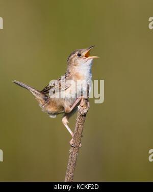 A Sedge Wren, Cistothorus platensis, sings from a perch near Saskatoon, Saskatchewan - Stock Photo