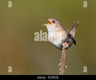 A Sedge Wren, Cistothorus platensis, sings from a perch near Saskatoon, Saskatchewan - Stock Photo