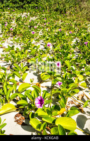 Sandbank vegetation known as Beach Morning Glory or Goat's Foot (Ipomoea Pes-caprae), at Acores Beach. Florianopolis, - Stock Photo