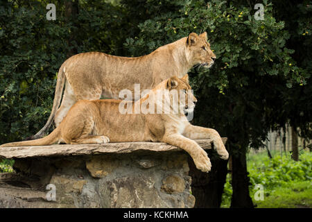 Two lionesses, one standing, one lying down - Stock Photo