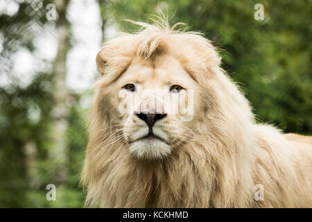 Headshot of a young white lion - Stock Photo