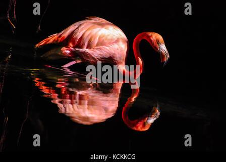 Pink flamingo reflected in water. Dark background - Stock Photo