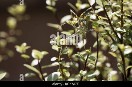 Bright green plant spider perched on Silversheen branches and leaves - Stock Photo
