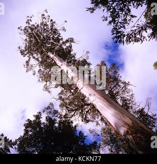 Tasmanian swamp gum or Mountain ash, (Eucalyptus regnans). At 87m high, this is one of the tallest surviving trees - Stock Photo
