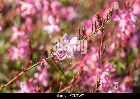 Gaura lindheimeri ' Geyser Pink ' - Stock Photo