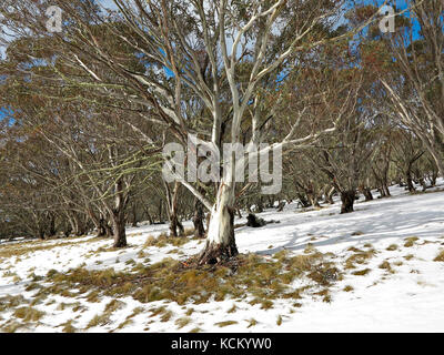 Snow gum (Eucalyptus pauciflora) in alpine woodland. Mount Hotham, Victorian Alps, Victoria, Australia - Stock Photo