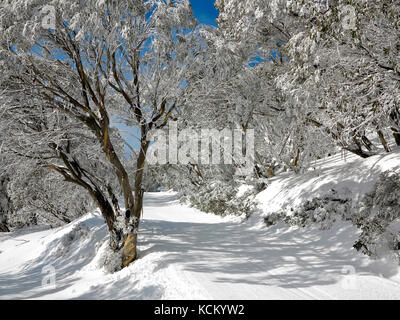 A cross-country ski trail after early morning grooming. Snow gums (Eucalyptus pauciflora) line the trail. Falls - Stock Photo