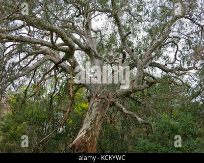 River red gum (Eucalyptus camaldulensis) in forest beside the Murray River, Albury, New South Wales, Australia - Stock Photo