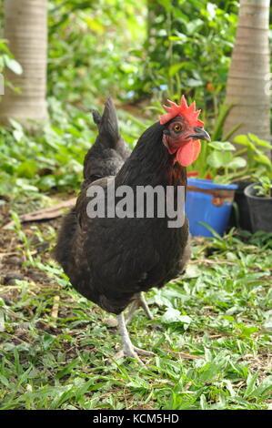 Australop Free range Chicken (Gallus gallus) on lawn, Townsville, Queensland, Australia - Stock Photo