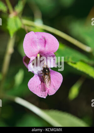 Fly on Policeman's helmet flower Stock Photo