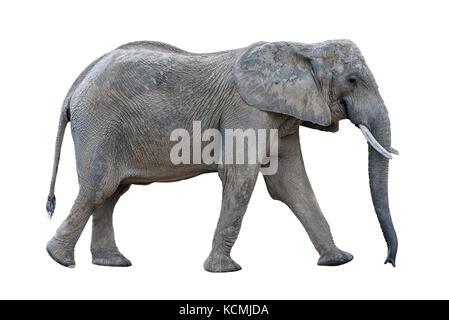 gray walking african elephant isolated on white background - Stock Photo