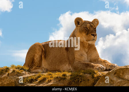 female lion panthera leo standing on the top of a rock on blue cloudy sky background. - Stock Photo