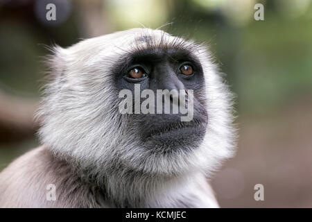 close view of  a northern plains gray langur semnopithecus entellus primate - Stock Photo