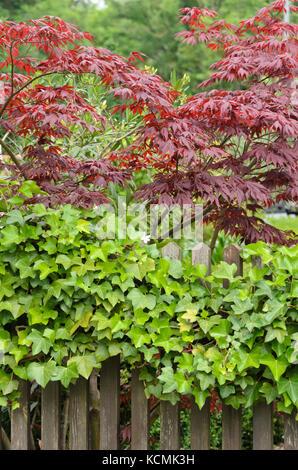 Japanese maple (Acer palmatum) and common ivy (Hedera helix) - Stock Photo