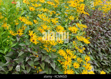 Orange cone flower (Rudbeckia fulgida) - Stock Photo