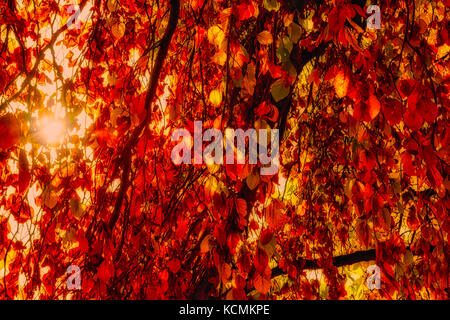 Color outdoor fall foliage image of tree branches with yellow, green and brown leaves and the sun shining through - Stock Photo