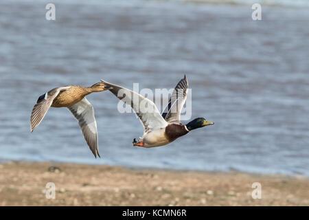 common mallard Anas platyrhynchos male and female adults in flight, Norfolk, UK - Stock Photo