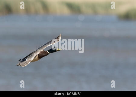 common mallard Anas platyrhynchos adult male in flight, Norfolk, UK - Stock Photo