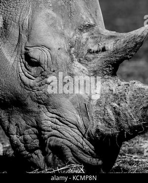Detailed, close-up side view of a Southern White rhinoceros head (Ceratotherium simum) outside in sunshine. Arty, - Stock Photo