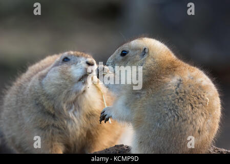 Detailed close up of two cute black-tailed prairie dogs (Cynomys) outdoors at Coswold Wildlife Park, UK, sharing - Stock Photo